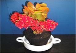 カランコエを植えた炭の鉢