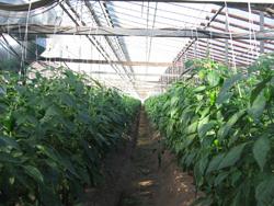 ハウスではピーマンなどの高知を代表する野菜が生産されている