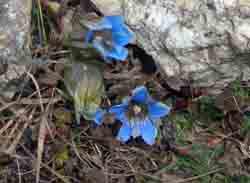 ヒマラヤのリンドウ (ゲンチアナ・ウルヌラ)の花